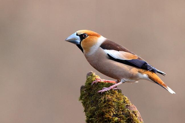صور و معلومات عن البلبل , البلبل Haw Finch