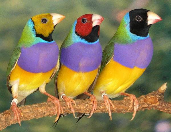 صور طائر حسون غولديان Gouldian Finch , معلومات عن طائر حسون غولديان