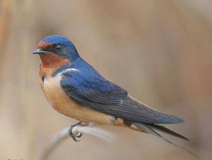 معلومات عن أنواع طائر السنونو , صور عن الطائر السنونو Swallow