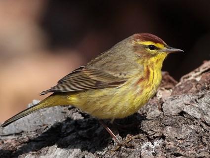 معلومات عن طائر الدخله الغليظ المنقار , صور الدّخّلة الغَليظ المنقار Warbler Hard Beak