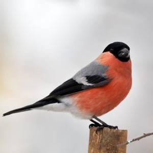 معلومات عن طائر الدغناش العادى , صور طائر الدغناش العادي Bull Finch