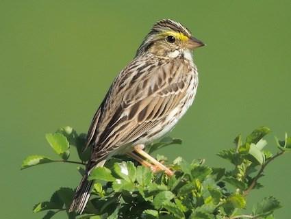 معلومات عن طائر الدوري الماسي , صور طائر الدورى الماسى Savanna Sparrow