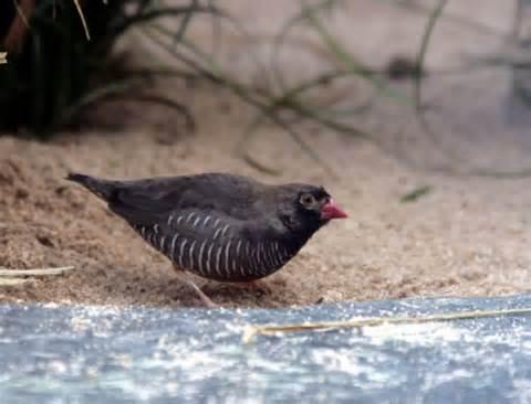 صور طائر السمان الأسود الذقن Black-chinned Quail Finch , معلومات عن الطائر السمان الأسود الذقن