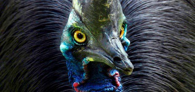معلومات عن الطائر الشَّبْنَم , صور طائر الشبنم Cassowaries