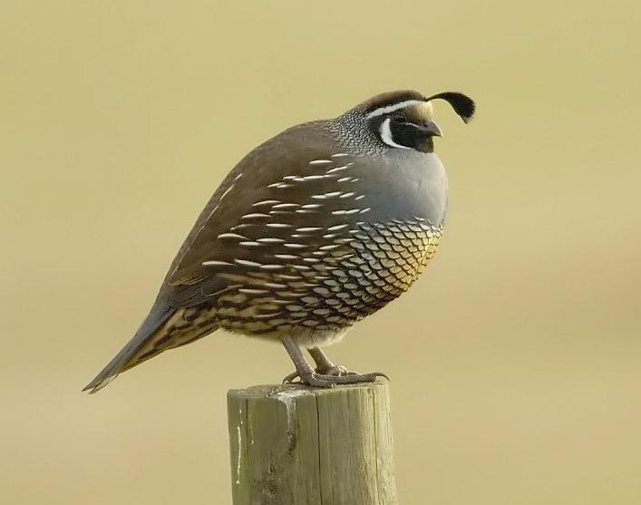 معلومات عن الطائر النمنمة Wren , صور طائر الصعو