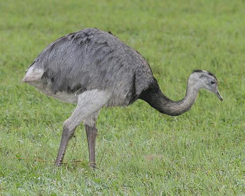 صور طائر الرية Greater Rhea , معلومات عن طائر الريه