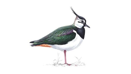 صور طائر الزقزاق الشامي Lapwing  , معلومات عن الطائر الزقزاق الشامى