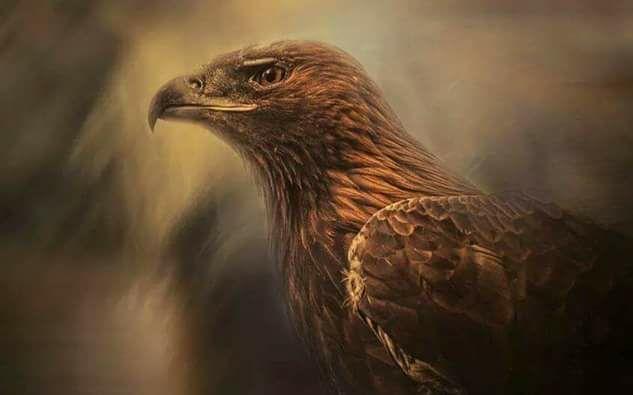 صور العُقّاب النسارية Osprey ,  معلومات عن نسر العقاب