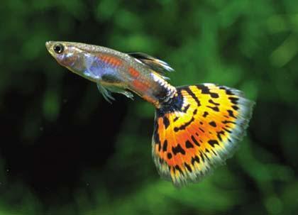 معلومات عن سمكة غوبى , صور السمكة غوبي Guppy