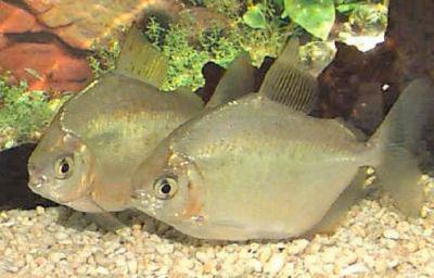 صور سمكة الدولار الفضي Silver Dollar Fish  , معلومات عن سمكة الدولار الفضيه