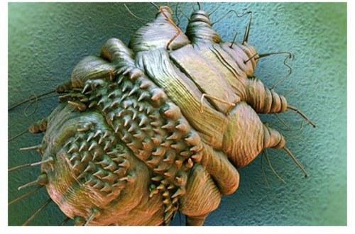 حشرة الجرب , اسم حشرة الجرب , صور حشرة الجرب العث