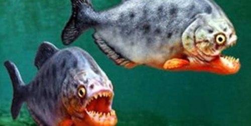 معلومات عن سمكة البيرانا اكلة لحوم البشر , صور سمكة البيرانا
