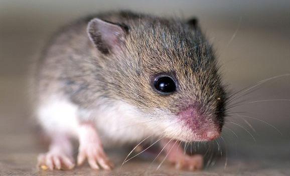 رؤية الفئران فى المنام ابن سيرين مدلول معنى الفأر فى الحلم خير أم شر لإبن شاهين والنابلسى