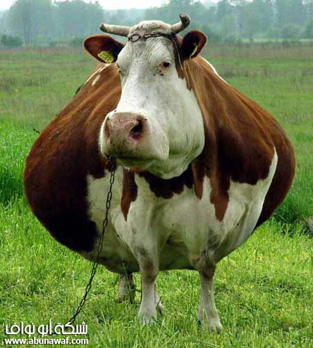ملكة جمال البقر بالصور , صور بقرة مضحكة , صور ابقار مضحكه جميلة