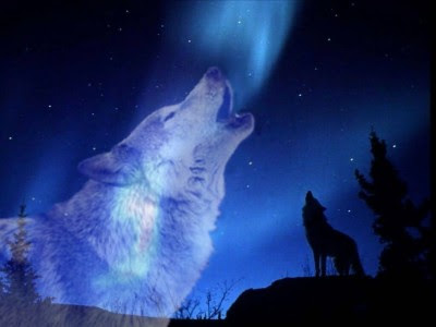 صور ذئاب جميله , خلفيات لعشاق الذئاب HD , صور جميله عن الذئب