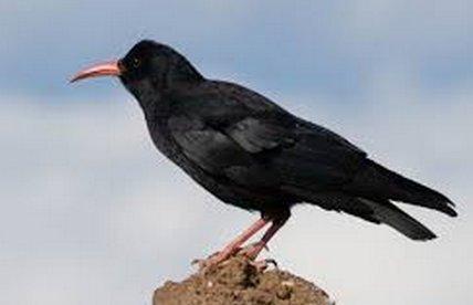 صور و معلومات عن طائر البلبل الاحمر الحرشفى البطن , البلبل الأحمر الحرشفي البطن Red-vented Bulbul