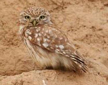 صور عن بومة الجحور , معلومات عن بومة الجحور Burrowing Owl