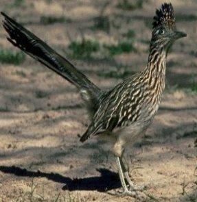 صور عن طائر الجوّاب RoadRunner ,  معلومات عن طائر الجواب