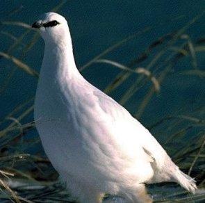 معلومات عن طائر حجل الصفصاف , صور طائر حجل الصفصاف Willow Ptarmigan