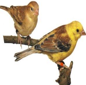 صور طائر الدوري الذهبي Golden Sparrow ,  معلومات عن الطائر الدورى الذهبى