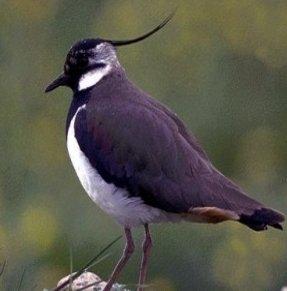 معلومات عن طائر الزقزاق الشامى , صور الطائر الزقزاق الشامي Lapwing