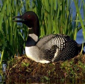معلومات عن الطائر السامك العادي ,  صور طائر السامك العادى Common Loon
