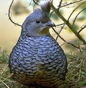 معلومات عن الطائر السمان المطلى Painted , صور طائر السمّان الأزرق الصدر Blue-breasted Quail