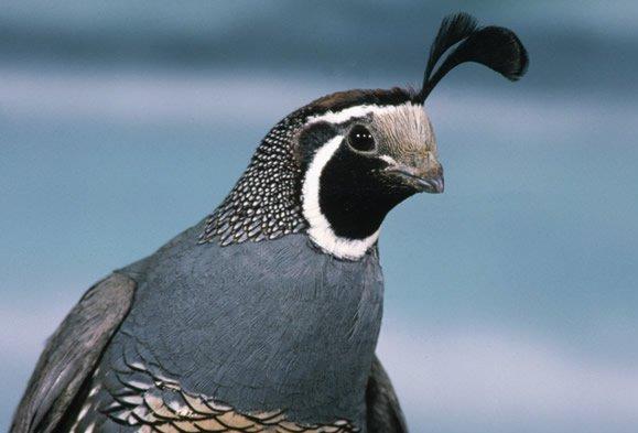 معلومات عن طائر سمانى كاليفورنيا , صور  الطائر سماني كاليفورنيا California Quail