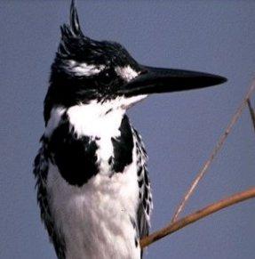 صور طائر صائد السمك الأبقع الصغير Lesser Pied ,  معلومات الطائر عن صائد السمك الابقع الصغير