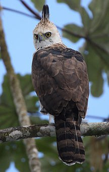 صور طائر الصافر المقلنس Hooded Pitohui , معلومات عن الطائر الصافر المقلنس