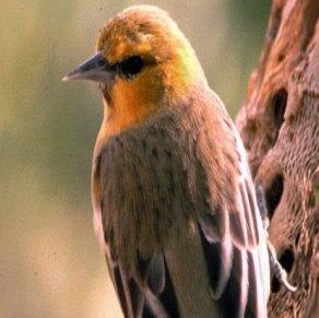 معلومات عن الطائر الصافر بلتيمور , صور طائر صافر بلتيمور Baltimore Oriole