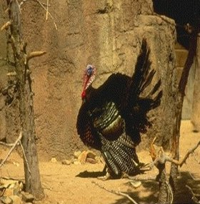 صور رومي الدغل Wild Turkey , معلومات عن طائر الرومى