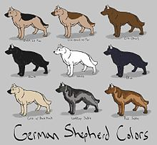 معلومات عن كلب الراعى الألمانى  , صور كلب الراعى الالمانى الأصلى