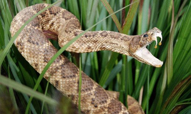 معلومات قيمة عن الثعبان , انواع الثعابين بالصور , صور عن الافاعي