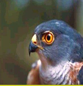 معلومات عن طائر الباشق , صور طائر الباشق Sparrow Hawk