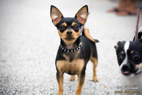 كل المعلومات عن كلب الشيواوا ,  صور كلب الشيواوا الاصلى