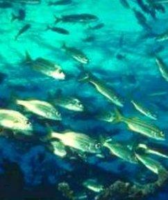 معلومات عن سمكة الناخر , صور سمكة الناخر Grunt