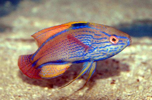 معلومات عن سمكة اللبروس , صور سمكة اللبروس Creole Wrasse