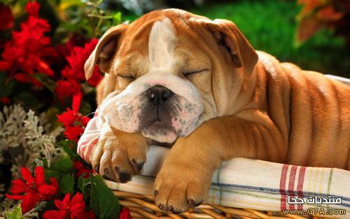 البولدوج, كلب البولدوج, صور كلب البولدوج, معلومات عن كلب البولدوج