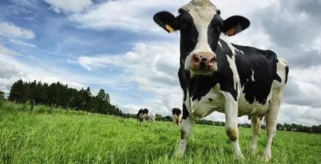 معلومات عن امراض البقر , امراض الابقار و علاجها