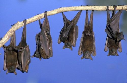 الفرق بين الوطواط و الخفاش , ما يميز الخفاش عن باقي مخلوقات