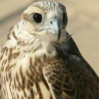 معلومات عن طير شلوى , معنى طير شلوى , تفسير مقولة طير شلوى