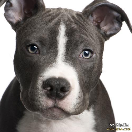 كلب البيتبول الامريكى, صور كلب البيتبول, معلومات عن كلب البيتبول