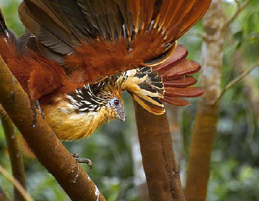 صور لطائر الفردوس الجميل