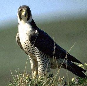 صور و معلومات عن الباز الجوال , طائر الباز الجوّال Peregrine Falcon