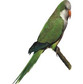 صور و معلومات عن الببغاء الرمادى الصدر Gray-breasted Parrakeet , الببغاء الراهب Monk