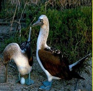 صور و معلومات عن طائر الاطيش الازرق القدمين , طائر الأطيش الأزرق القدمين Blue Footed Boobie