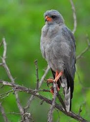صور و معلومات عن طائر الباشق الحزين , طائر الباشق الحزين الترتيل Hawk-dismal Harmony