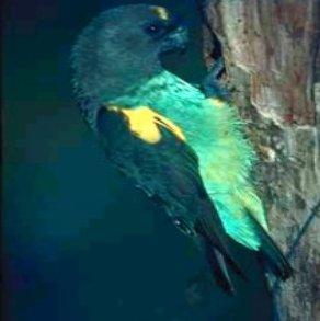 صور و معلومات عن ببغاء ماير , ببغاء ماير Meyer's Parrot