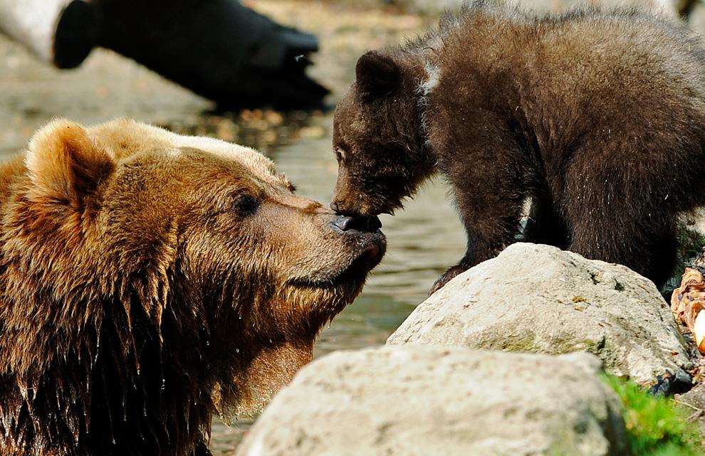 منظر طبيعى لمداعبة الدب البنى لابنه فى حديقة حيوان بهامبورج بألمانيا